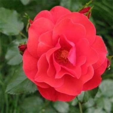 Роза Jive фото цена