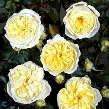 Роза Kronprinsesse Mary описание