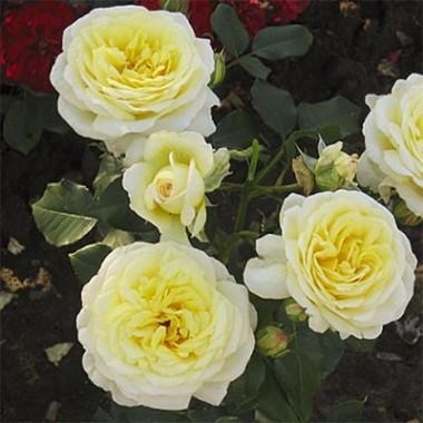 Роза Kronprinsesse Mary смотреть