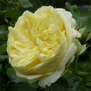 Роза Kronprinsesse Mary фото цена