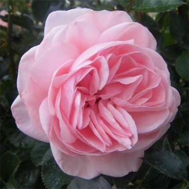 Роза La Fontaine Aux Perles фото цена
