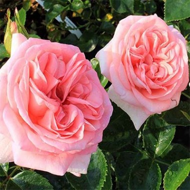 Роза La Fontaine Aux Perles почтой