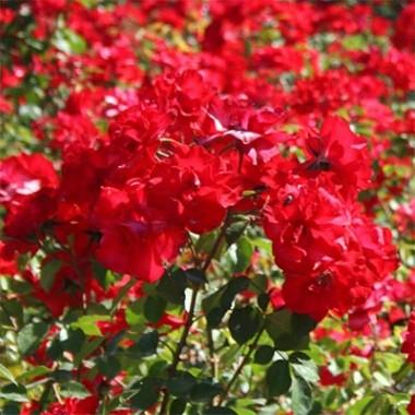 Роза La Sevillana фото цена