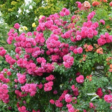Роза Laguna купить онлайн