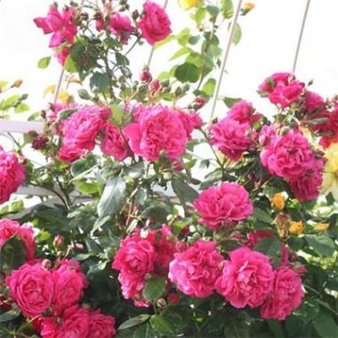 Роза Laguna описание