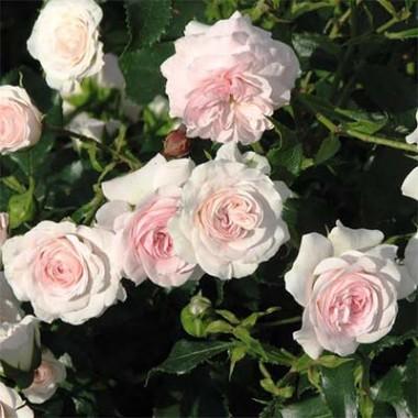 Роза Larissa смотреть