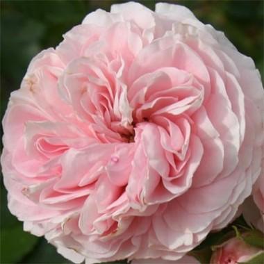 Роза Larissa почтой