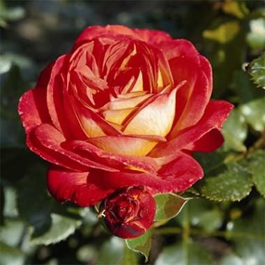 Роза Midsummer почтой