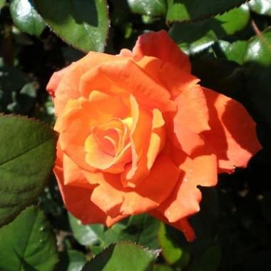 Роза Monica купить онлайн