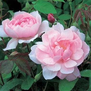 Роза Mortimer Sackler (плетистая) купить онлайн