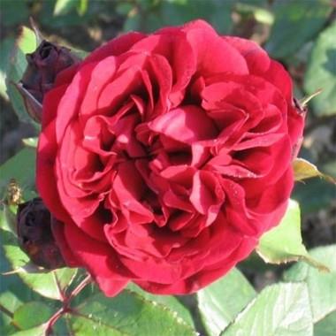 Роза Nadia Renaissance фото цена
