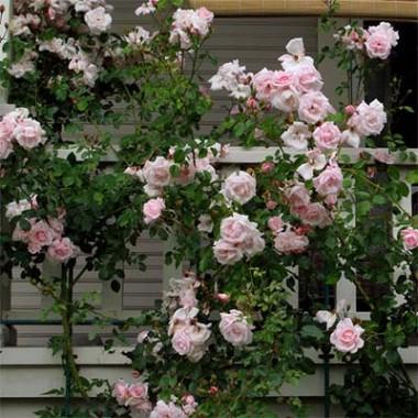 Роза New Dawn в киеве