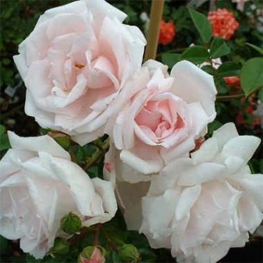 Розы Декоплант купить