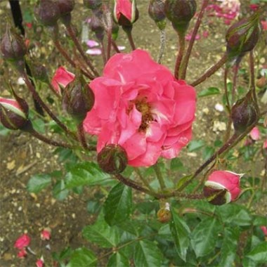 Роза Orange Triumph фото