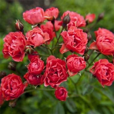 Роза Orange Triumph купить онлайн