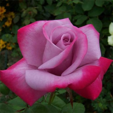 Американские розы купить