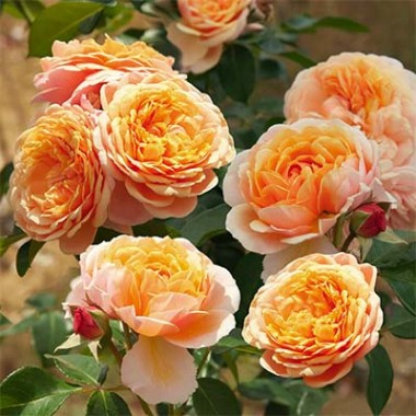 Роза Parfum D'Orleans фото