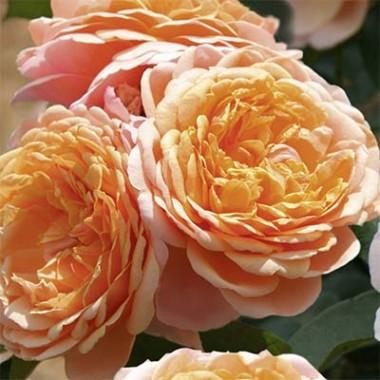 Роза Parfum D'Orleans почтой
