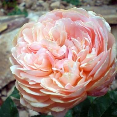 Роза Parfum D'Orleans описание