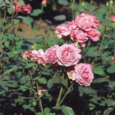 Роза Pariser Charme фото