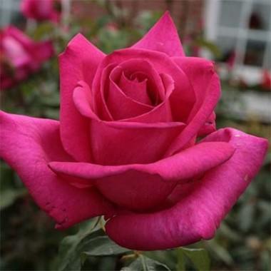 Роза Parole смотреть
