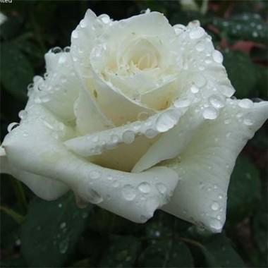 Роза Pascali описание