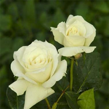 Роза Pascali почтой