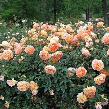Розы Дэвида Остина