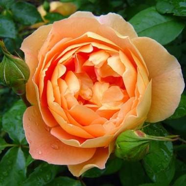Роза Pat Austin описание