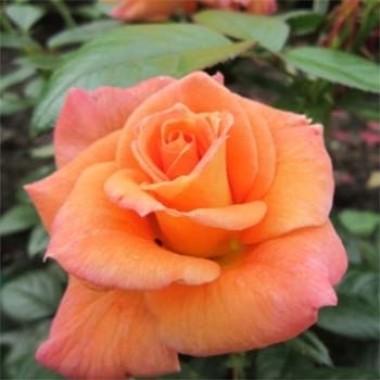 Роза Peacekeeper фото