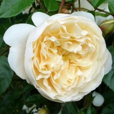 Роза Perpetually yours фото