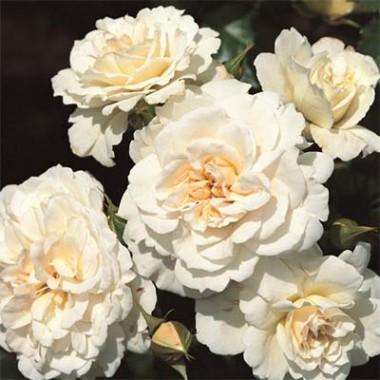 Роза Petticoat почтой