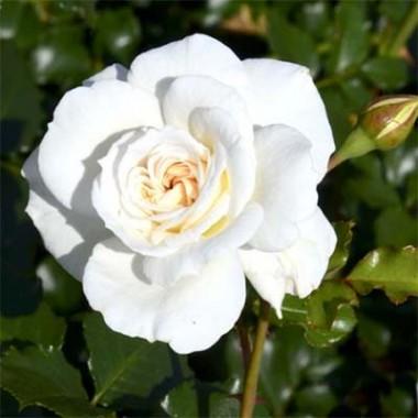 Роза Petticoat интернет-магазин
