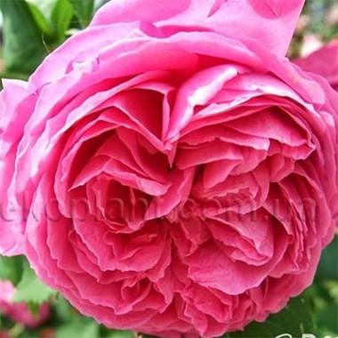 Роза Pink Musimara описание