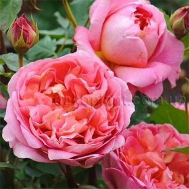 Роза Pink Musimara интернет-магазин