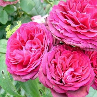 Роза Pink Musimara в киеве