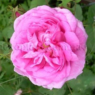 Роза Pink Musimara фото