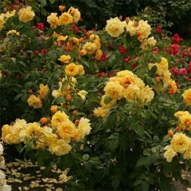 Роза Postillion купить онлайн