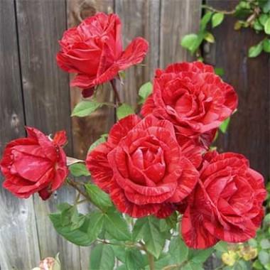 Роза Red Intuition купить онлайн