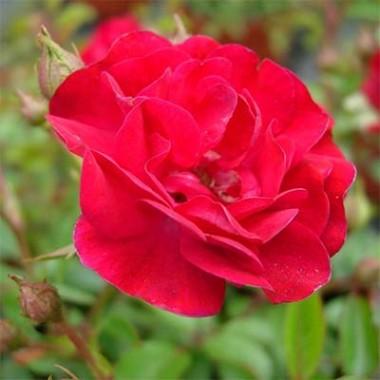 Полиантовые розы купить
