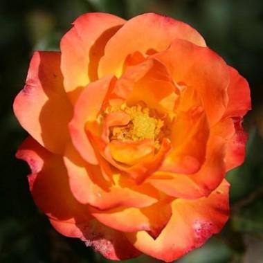 Роза Rumba смотреть
