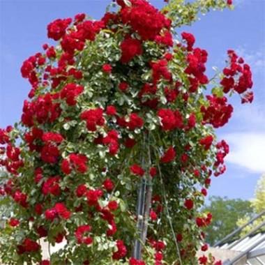 Роза Scarlet Meillandecor описание