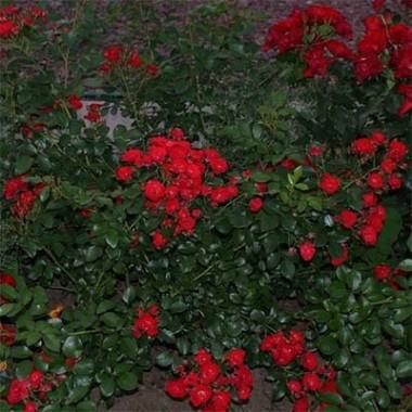 Роза Scarlet Meillandecor почтой