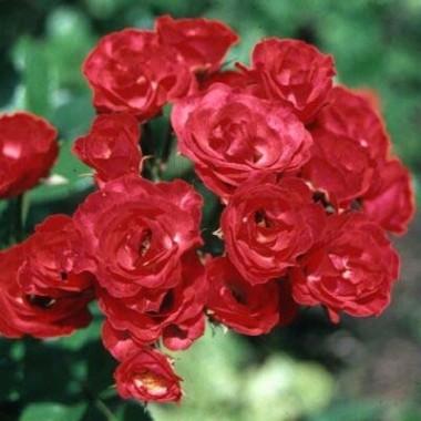 Роза Scarlet Meillandecor интернет-магазин