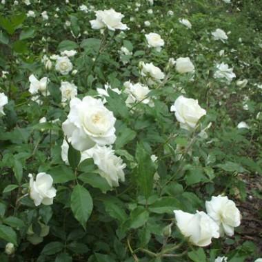 Роза Schneewittchen  купить онлайн