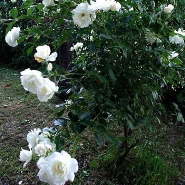 Роза Schneewittchen  почтой