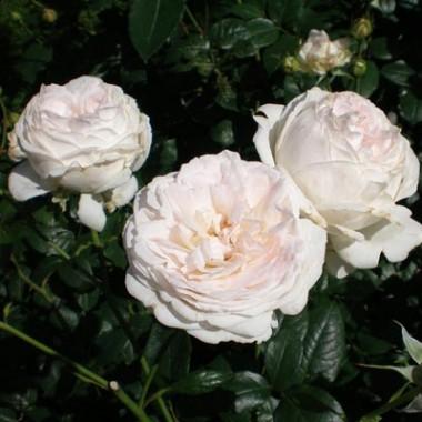 Роза Schneewittchen  смотреть