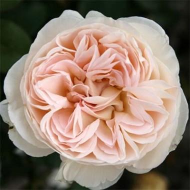 Розы Кордес купить