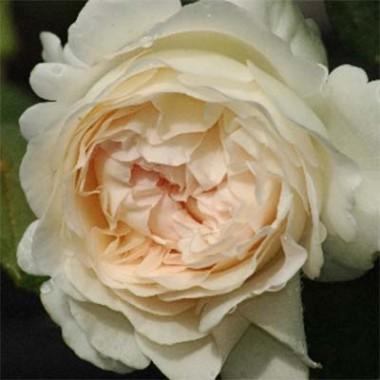 Роза Sebastian Kneipp фото