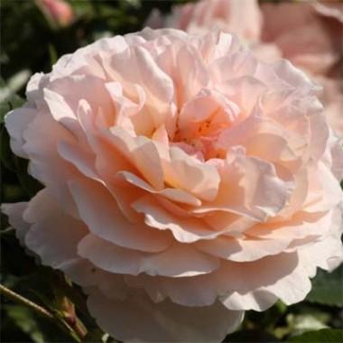 Роза Sebastian Kneipp описание